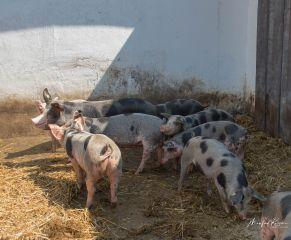 BentSchweine-8578