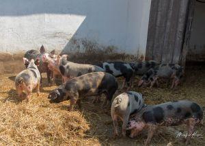 BentSchweine-8584