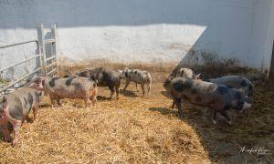 BentSchweine-8585