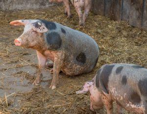 BentSchweine-8589